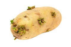 Potato Germinating Stock Images