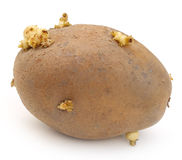 Potato germinating Royalty Free Stock Photos