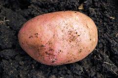 Potato on the ground Stock Photography