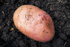 Potato on the ground Royalty Free Stock Photography
