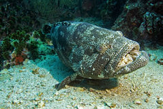 Potato Grouper 4. Potato grouper resting on sandy bottom at Sail Rock dive site close to Koh Tao island in Thailand Stock Photos