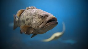 Potato Grouper. Close up portrait of Potato Grouper in the water Stock Photography
