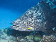 Potato Grouper, Great Barrier Reef, Australia Stock Photo