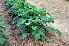 Potato growing Stock Photo
