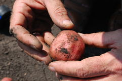 Potato in hands Stock Photography
