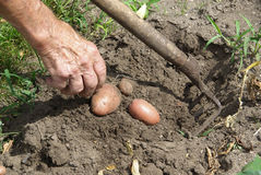 Potato harvest 01 Stock Photos