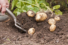 Potato Harvest Royalty Free Stock Photography