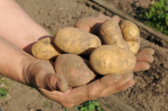 Potato harvest Stock Image