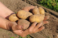 Potato harvest Stock Photography