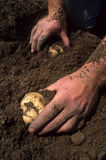 Potato harvest Stock Photo