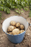 Potato harvest. Fresh potatoes in blue bucket after harvest Stock Photos