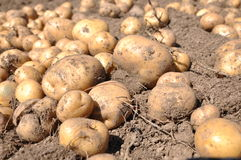 Potato harvest. Harvesting potatoes on the farm Royalty Free Stock Images
