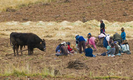Potato harvest. SACRED VALLEY,  PERU - MAY 26 : Groupe of Peruvian people in a potato harvest in the Andes of Peru Royalty Free Stock Photos