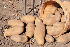 Potato harvest. Freshly dug potatoes spilling from a harvest basket stock images