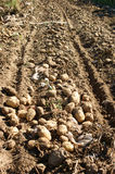 The potato harvest Stock Photography