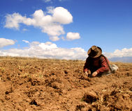 Potato Harvest in the Andes. Of Peru Stock Photos