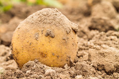 Potato Harvest in Autumn Stock Photos