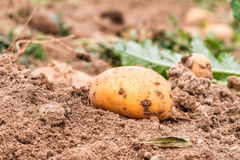 Potato Harvest in Autumn Stock Photo