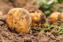 Potato Harvest in Autumn Stock Photography