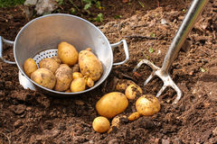 Potato harvest with bar spade Stock Photos