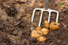 Potato harvest with bar spade Royalty Free Stock Photo