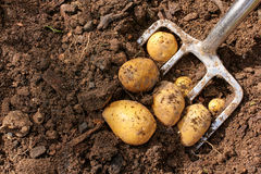 Potato harvest with bar spade Royalty Free Stock Photography
