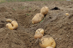 Potato harvest. Different forms of potatoes during the fall harvest Stock Images