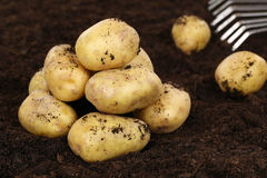 Potato harvest on a field Royalty Free Stock Images