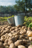 Potato harvest Stock Images