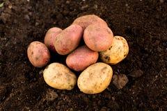 Potato harvest on the ground, in garden Stock Photos