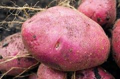 Potato harvest on the ground Stock Photo