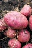 Potato harvest on the ground Royalty Free Stock Photography