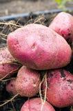 Potato harvest on the ground Stock Image