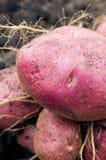 Potato harvest on the ground Royalty Free Stock Photos