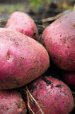 Potato harvest on the ground Royalty Free Stock Photo