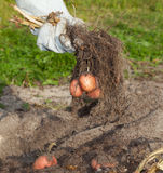 Potato harvest. Hand in glove holding potatoes with tops Royalty Free Stock Photography
