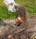 Potato harvest Royalty Free Stock Photography