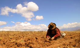 Potato Harvest In The Andes Royalty Free Stock Photo
