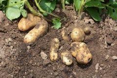 Potato harvest. Kitchen garden / Harvest of potatoes royalty free stock photos