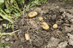 Potato harvest. Potato in the loam with plant Royalty Free Stock Photography
