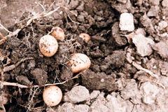 Potato harvest Royalty Free Stock Images