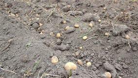 Potato harvest stock video