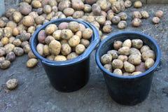 Potato harvest on organic background Royalty Free Stock Photos