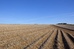 Potato harvest. Rows of potatoes ready to be harvested in late summer in the yorkshire wolds under a blue sky Stock Photo