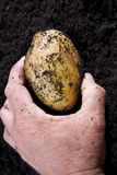Potato harvesting Stock Photography