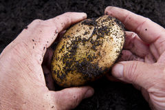 Potato harvesting Royalty Free Stock Image
