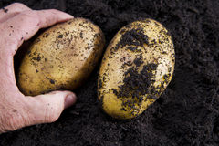 Potato harvesting Stock Photos