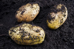 Potato harvesting Royalty Free Stock Images