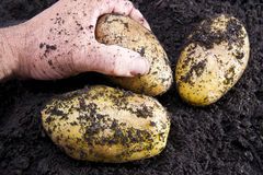 Potato harvesting Royalty Free Stock Photo