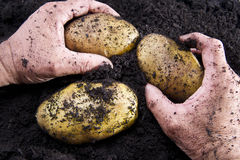Potato harvesting Royalty Free Stock Photos